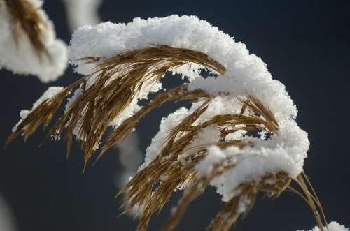 Reed Reeds Snow Winter Snowy Nature Plant Macro
