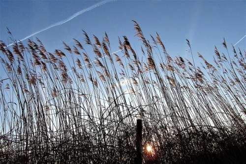 Reed Sunrise Wind Nature Air Atmosphere Vote
