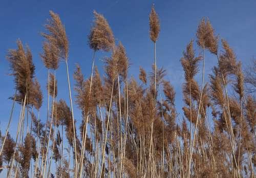 Reed Nature Sky Sky Blue Blue Blue Sky Spring