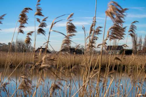 Reed Water Holland Landscape Nature Countryside