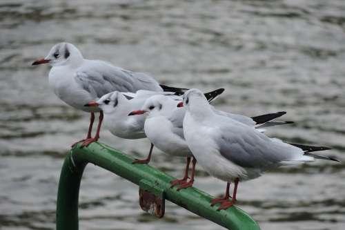 Rhine River Gull Bird
