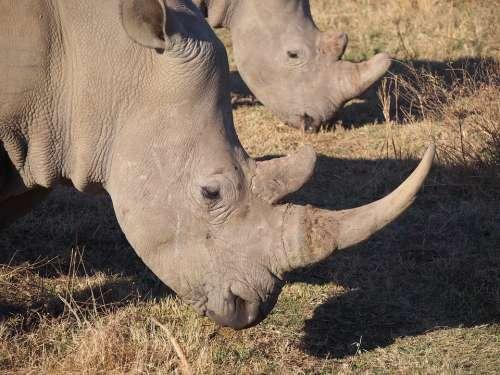 Rhino South Africa White Rhino Animal World