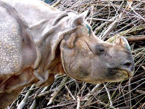 Rhino Mammal Animal Close Up