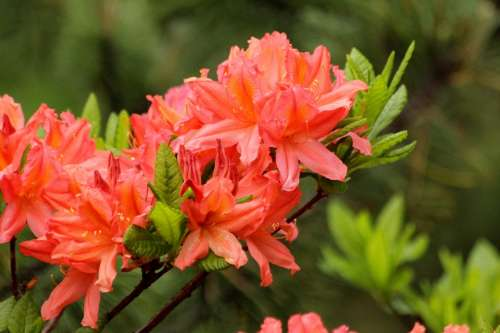 Rhododendron Plant Bloom Flowers Shrub Nature