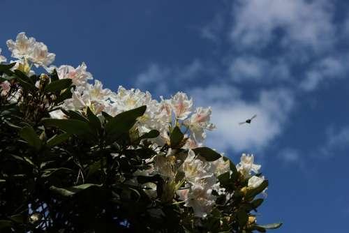 Rhododendron White Sky Nature Spring Garden