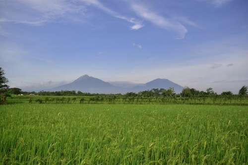 Rice Field Countryside Agriculture Rice Indonesia