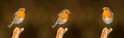 Robin Bird Garden Songbird Nature Garden Bird