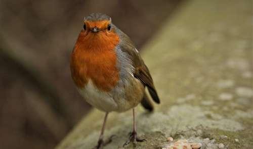 Robin Nature Wildlife Bird
