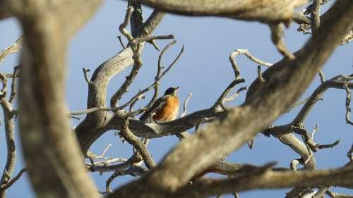 Robin Tree Bird Nature Animal Wildlife Wild