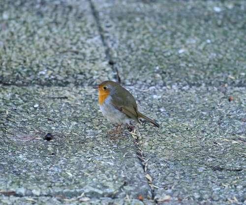 Robins Bird Small Birds Feeding Place