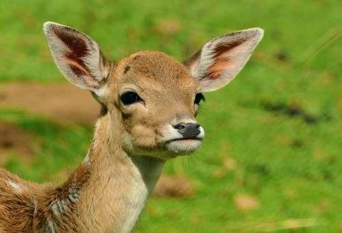 Roe Deer Fawn Kitz Young Deer Wild Bambi