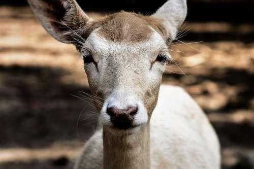 Roe Deer Wild Fallow Deer Scheu Nature Animals