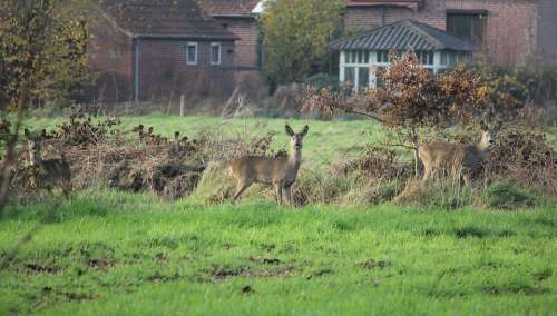 Roe Deer Attention Meadow Nature Wild Scheu