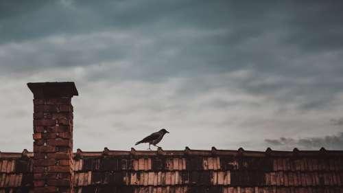 Roof Animal Bird Raven Crow Wildlife Chimney