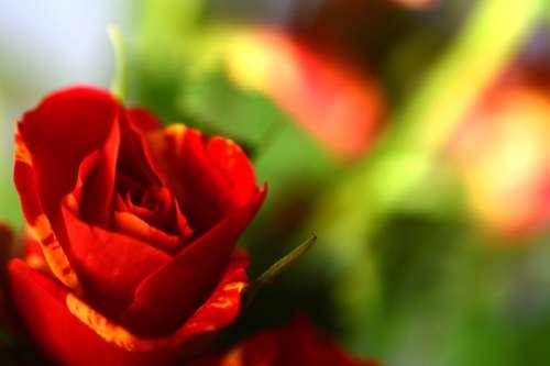 Ros Love Background Flower Romantic Short Roses