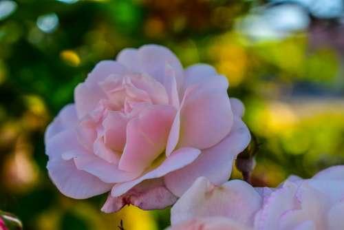 Rosa Flower Roses Romance Nature