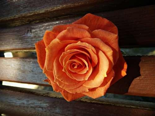 Rosa Orange Reflection Wood Petals Perspective