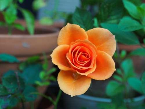Rose Plant Flower Orange