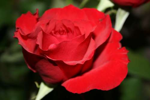 Rose Red Flower Blossom Romance