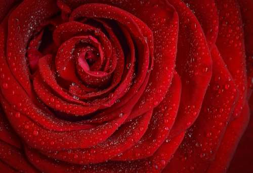 Rose Red Flower Nature Garden Macro Plant Petals