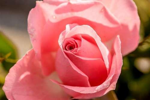 Rose Rose Bloom Flower Blossom Bloom Bloom Pink
