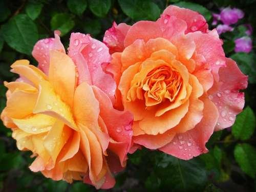 Rose Nature Flower Flowers Spring