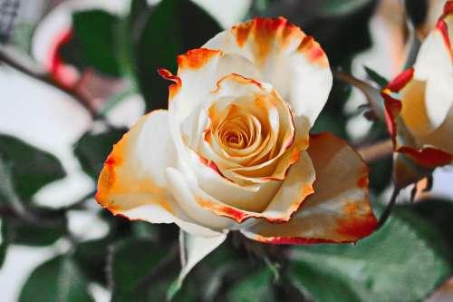 Rose Yellow Flower Petals Blossom Bloom White