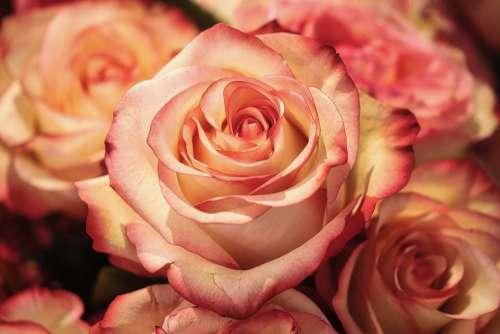 Rose Flower Petal Romance Wedding Affection