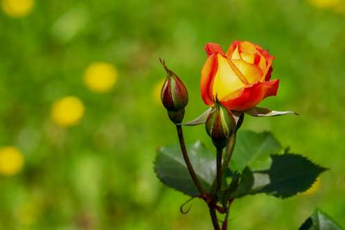 Rose Blossom Bloom Bloom Yellow Orange