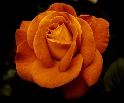 Rose Flower Blossom Bloom Nature Rose Blooms