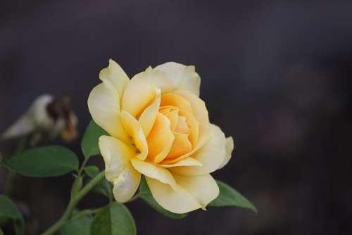 Rose Rose Petals Petals Romantic Blossom Bloom
