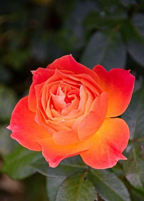 Rose Blossom Bloom Bright Romantic Orange Flower