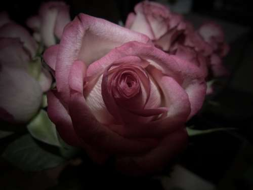 Rose Flower Nature Romance Bouquet Valentine