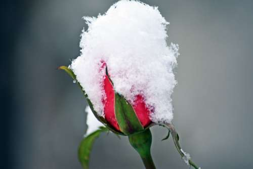 Rose Snow Winter Garden Love Romantic Wallpaper