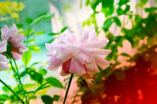 Rose Tree Pink Nature Plant Flower Romantic