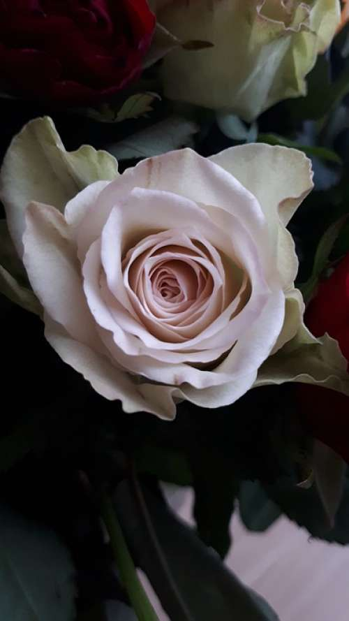 Rose Pink Leaves Thorns White Flowers