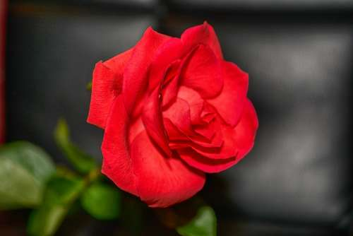Rose Red Rose Close Up Portrait Beautiful Charming