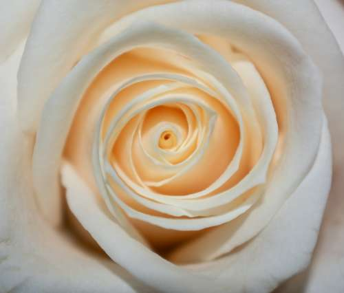 Rose White Flower Bloom Love Nature Wedding