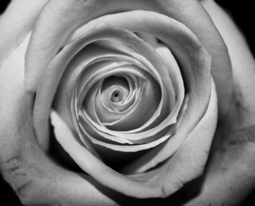 Rose Closeup Black And White Flower Nature Love