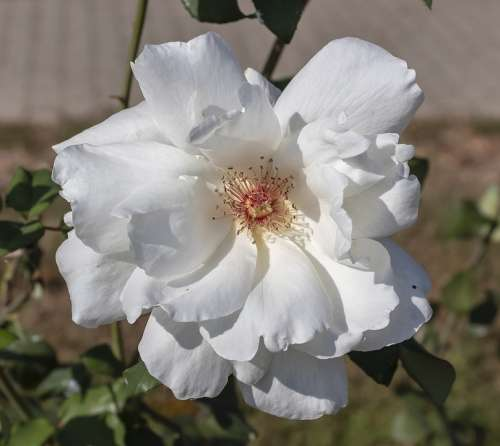 Rose Flower White Roses Plant Garden Nature