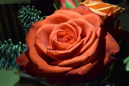 Rose Orange Rose Orange Romantic Colorful Petals