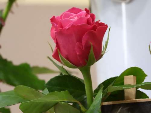 Rose Pink Flower Figure Romantic Plant Beauty
