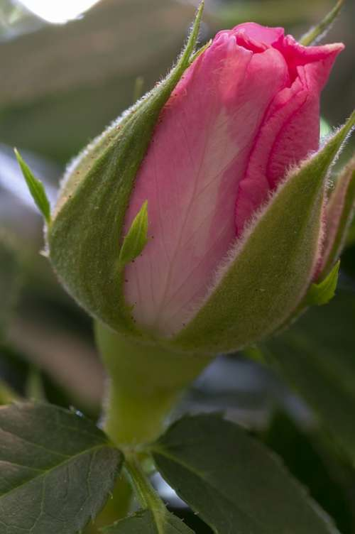 Rose Rosebud Flower Red