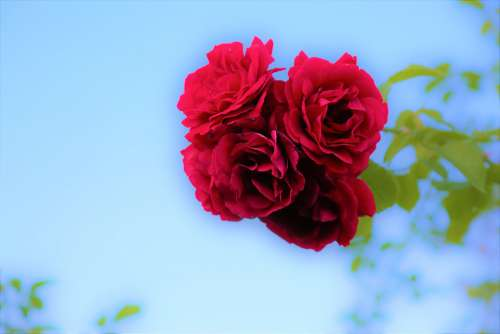 Rose Red Nature Flower Plant Love Beauty