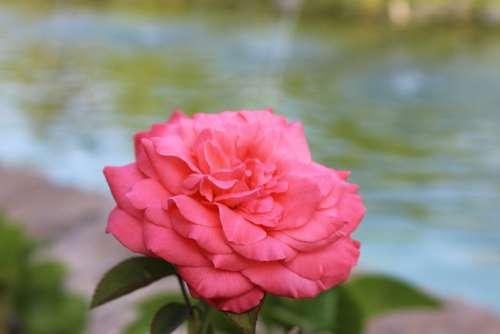 Rose Flower Pink Water Nature Garden Flora Love