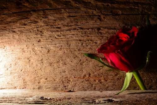 Rose Red Flower Blossom Bloom Red Rose Wood
