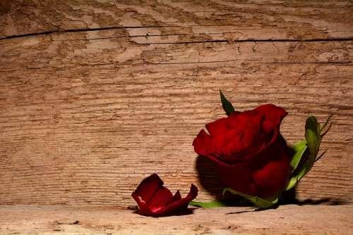Rose Red Flower Blossom Bloom Wood Background