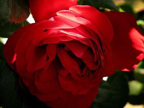 Rose Flower Red Romance Floral Romantic