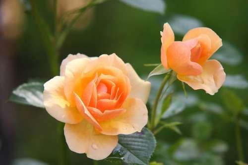 Rose Flower Blossom Bloom Rose Bloom Plant