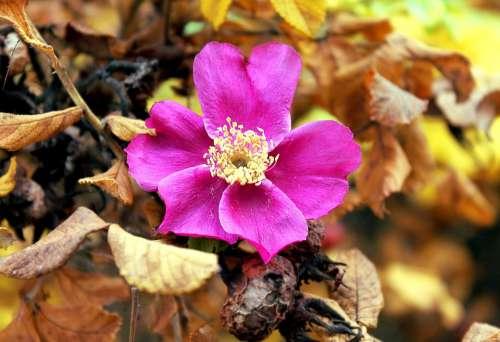 Rose Hip Autumn Nature Roses Flora Garden